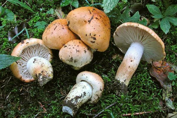 Hygrophorus pudorinus (Fr.) Fr. (COMMESTIBILE) foto Emilio Pini
