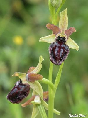Ophrys pseudoatrata