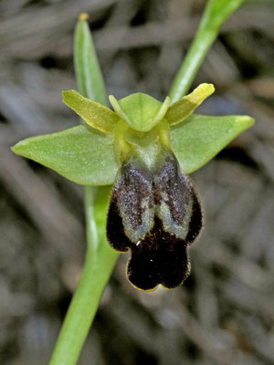 Ophrys delforgei