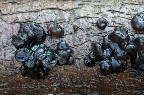 Exidia glandulosa (Bull.) Fr. (NON COMMESTIBILE)  Foto Emilio Pini