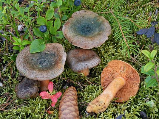 Lactarius fennoscandicus Verbeken & Vesterh. (COMMESTIBILE) Foto Emilio Pini