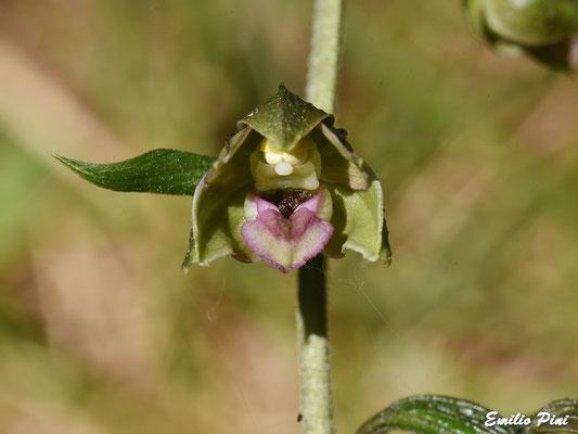 Epipactis placentina (Regione Emilia Romagna)