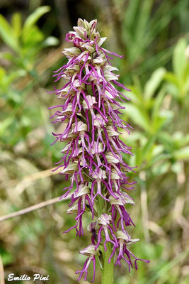 Orchis anthropophora x Orchis simia
