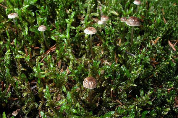 Mycena vulgaris (Pers.) P. Kumm. 1871 (NON COMMESTIBILE) Foto Emilio Pini