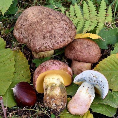 Boletus pseudoregius (Heinr. Huber) Estadès (COMMESTIBILE)                   Foto emilio Pini