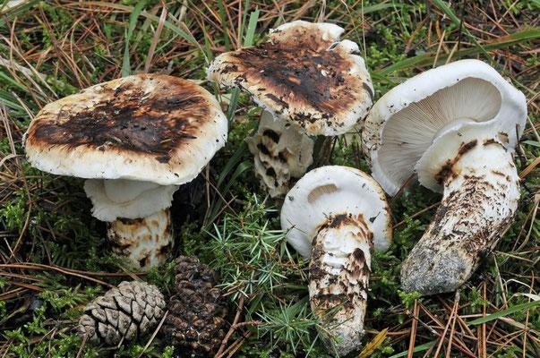 Tricholoma caligatum (Viv.) Ricken 1914 (NON COMMESTIBILE) foto Emilio PIni