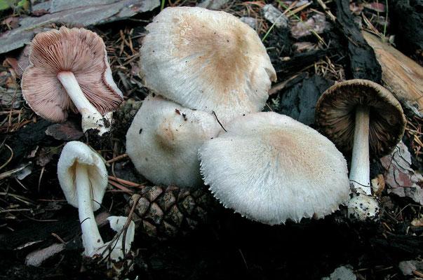 Volvariella hypopithys (Fr.) M.M. Moser (NON COMMESTIBILE) Foto Emilio Pini