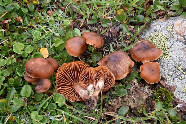 Cortinarius hinnuleus var favreanus Bon (NON COMMESTIBILE) Foto Emilio Pini