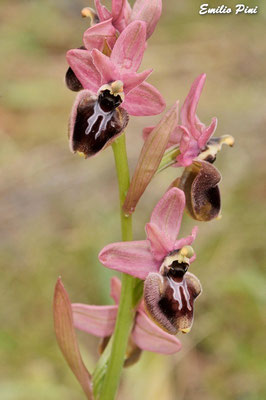 Ophrys tenthredinifera ssp neglecta x Ophrys incubacea