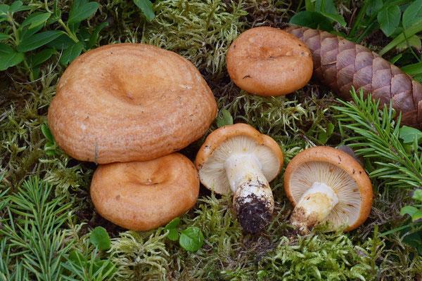 Lactarius zonarioides Kühner & Romagn. (NON COMMESTIBILE) Foto Emilio Pini