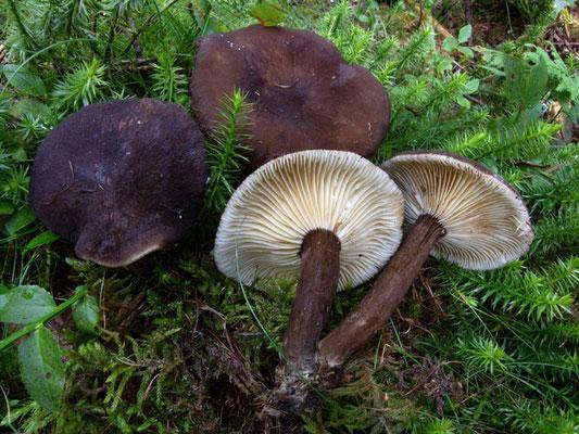 Lactarius lignyotus Fr. (NON COMMESTIBILE) Foto Emilio Pini