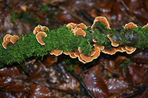 Stereum hirsutum (Willd.) Pers. (NON COMMESTIBILE) Foto Emilio Pini