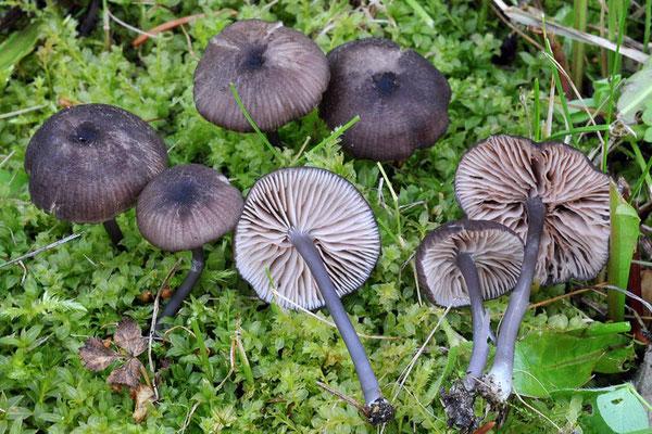 Entoloma corvinum (Kühner) Noordel. (NON COMMESTIBILE)  Foto Emilio Pini