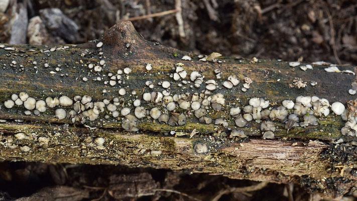 Mollisia cinerea (Batsch) P. Karst. (NON COMMESTIBILE) Foto Emilio Pini