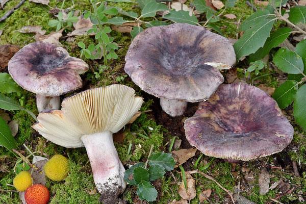Russula amoenicolor Romagn. 1962 (NON COMMESTIBILE) Foto Emilio Pini