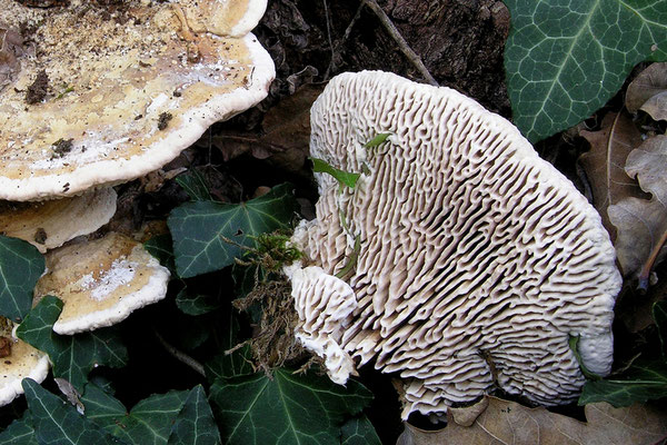 Daedalea quercina (L.) Pers. (NON COMMESTIBILE) Foto Emilio Pin