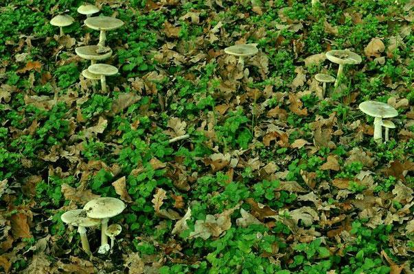 Amanita phalloides (Vaill. ex Fr.) Link (VELENOSO MORTALE)                             Foto Emilio Pini