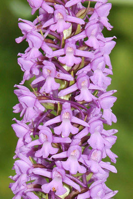 Gimnadenia conopsea var. densiflora