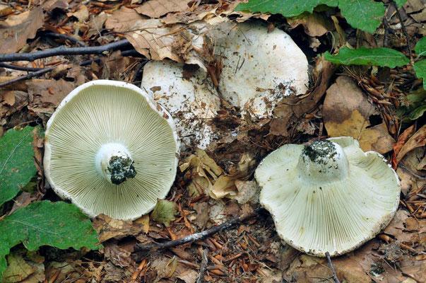 Russula chloroides (Krombh.) Bres. 1900 (NON COMMESTIBILE) Foto Emilio Pini