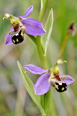 Ophrys apifera (Regione Lombardia)