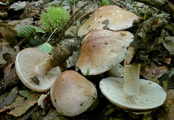 Hebeloma edurum Métrod (NON COMMESTIBILE) Foto Emilio Pini