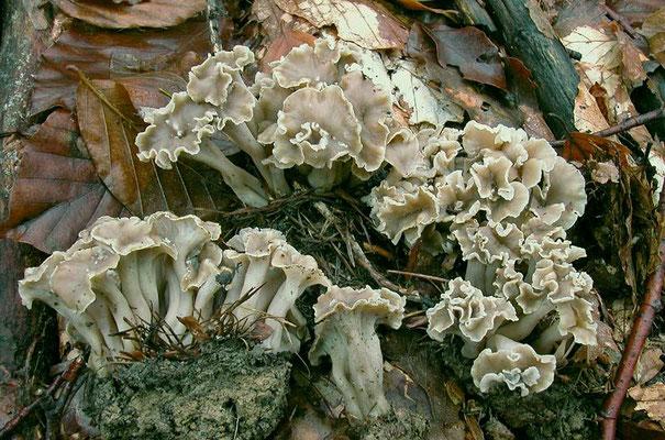 Pseudocraterellus undulatus (Pers.) Rauschert 1987 (COMMESTIBILE) Foto Emilio Pini