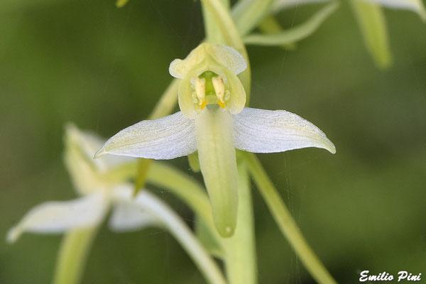 Platanthera osca