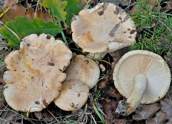 Tricholoma roseoacerbum A. Riva 1984 (COMMESTIBILE) Foto Emilio Pini