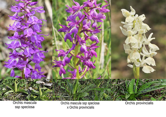 Orchis mascula ssp speciosa x Orchis provincialis