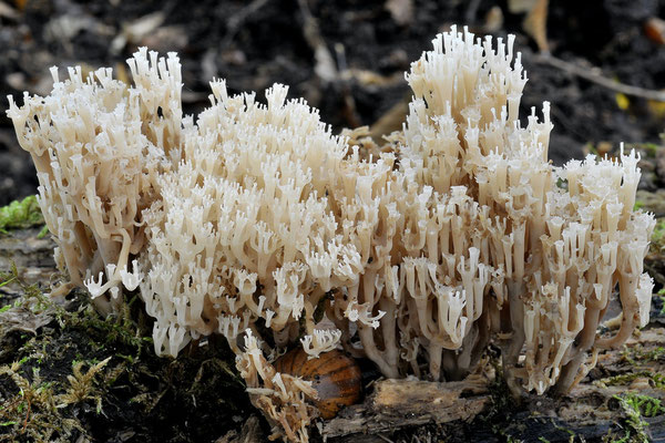 Artomyces pyxidatus (Pers.) Jülich (NON COMMESTIBILE) Foto Emilio Pini