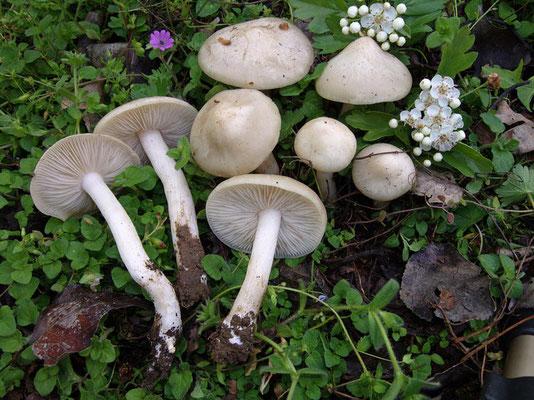 Entoloma sepium (Noulet & Dass.) Richon & Roze (COMMESTIBILE)  Foto Emilio Pini
