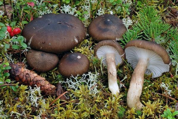 Hygrophorus camarophyllus (Alb. & Schwein.) Dumée, Grandjean & Maire  (COMMESTIBILE) Foto Emilio Pini