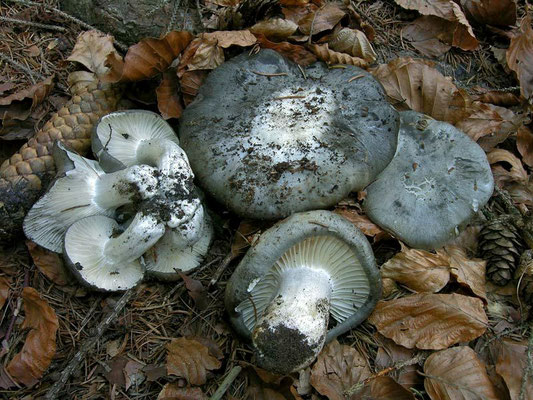 Hygrophorus marzuolus (Fr.) Bres. (COMMESTIBILE) Foto Emilio Pini