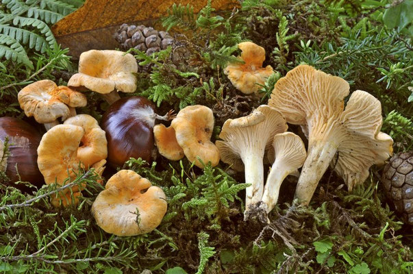 Cantharellus friesii Quélet (COMMESTIBILE)  Foto Emilio Pini