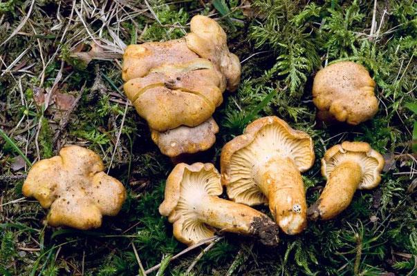 Cantharellus amethysteus (Quél.) Saccardo  (COMMESTIBILE)                            Foto Emilio Pini