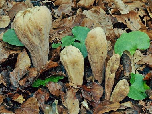 Clavariadelphus pistillaris (L.) Donk (NON COMMESTIBILE) Foto Emilio Pini