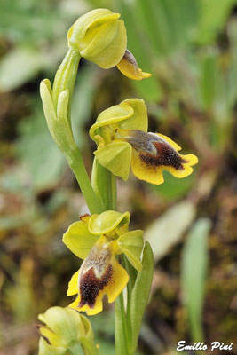 Ophrys subfusca subsp liveranii