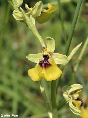 Ophrys lacaite