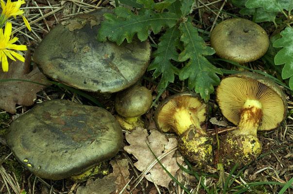 Cortinarius odoratus (Joguet ex M.M. Moser) M.M. Moser (NON COMMESTIBILE)  Foto Emilio Pini