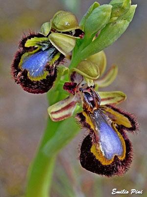 Ophrys speculum (Regione Sicilia)