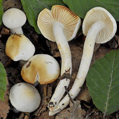 Hygrophorus discoxanthus (Fr.) Rea (COMMESTIBILE) Foto Emilio Pini