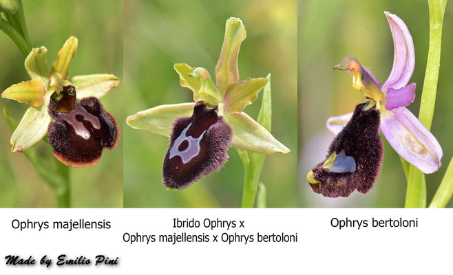 Ophrys passionis ssp majellensis x Ophrys bertoloni