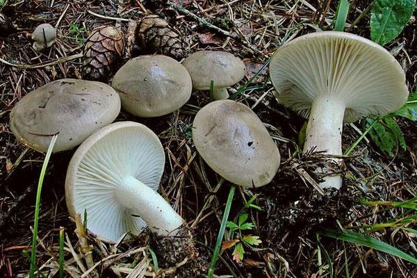 Hygrophorus agathosmus (Fr.) Fr. (COMMESTIBILE) Foto Emilio Pini