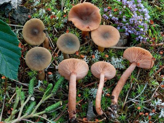 Lactarius cyathuliformis Bon  (NON COMMESTIBILE) Foto Emilio Pini