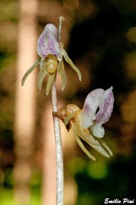 Epipogium aphillum (Provincia Trento)