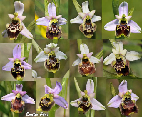 Ophrys tetraloniae