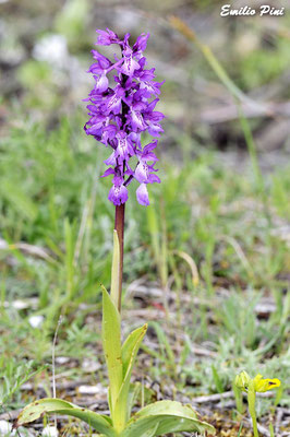 Orchis mascula ssp ichnusae