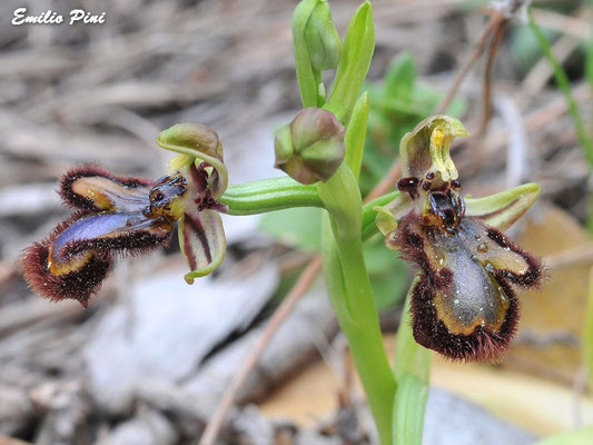 Ophrys speculum