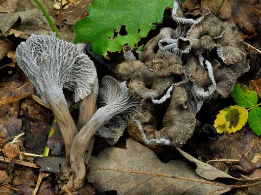 Cantharellus cinereus (Pers.) Fries  COMMESTIBILE Foto Emilio Pini