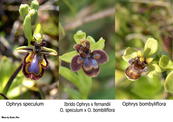 Ophrys speculum x Ophrys bombiliflora